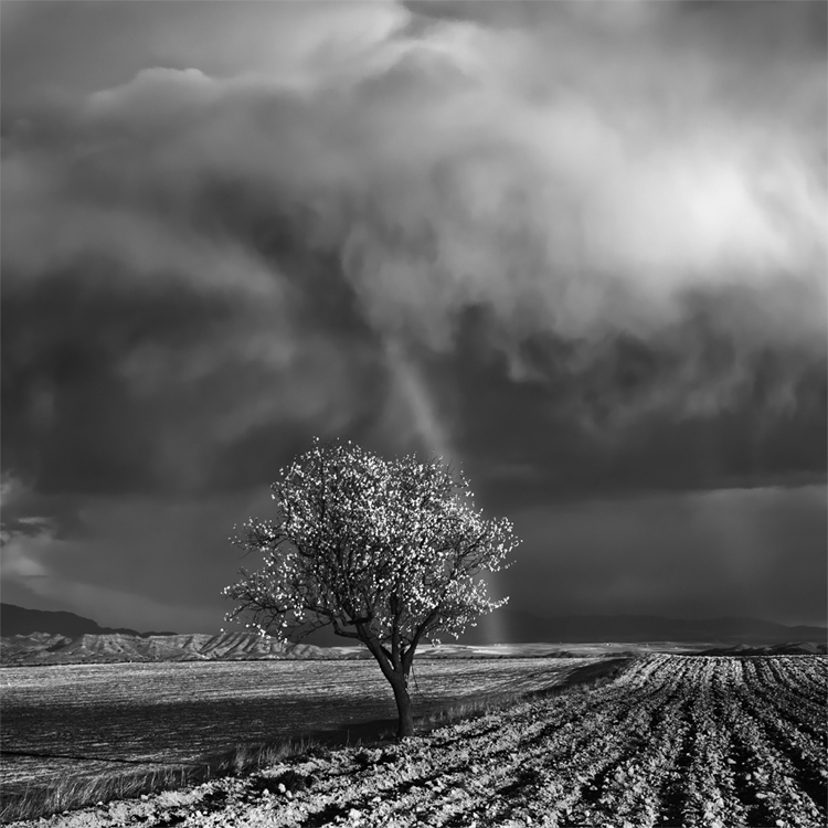 """One Almond Tree Under the Storm"" (c) David Frutos This image represents the first recognition of my work with an award in a national photographic contest. I received first prize for this photograph. I have to admit that this photo was the result of good luck. A friend and I were walking in the country in Cieza (Murcia-Spain) on a winter afternoon. We were looking for locations with almond blossoms for future photo shoots, when, suddenly, the sky darkened and it started raining. Just behind us the sky was blue and the sunshine drew those two beautiful rainbows behind the almond tree that you see in the image. That magic moment lasted just 3 minutes. I can say that, in Henri Cartier-Bresson's words, it was a turning point. My decision to convert the image to B&W was based on my desire to create surprise and uncertainty for the contest jury. After the awards ceremony, a member of the jury told me that that had been one of the things that rated the work more highly. I wanted to escape from the typical image containing a nice rainbow. When I processed it, the most difficult task was to keep the white of the almond blossoms inside the histogram while, at the same time, highlighting them enough to give them the focus in the image that they deserve."