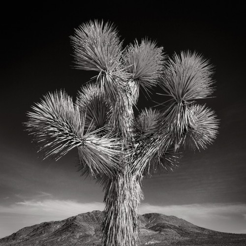 Joshua Tree (c) Jan Bell: Much like Distant Island, Joshua Tree is a study in symmetry. Here the textures of the joshua tree play against the textures of the distant mountain. But unlike the island in Distant Island, the foreground of this image is where the action takes place. The textures of that (almost) symmetrical tree give the eye a lot to explore. Everything radiates out from the center. Ironically I shot this composition from a lower angle, thinking that I might omit the distant mountain range. And as was the case with Distant Island, I realized that the background element is necessary for spatial interest. I wanted the Joshua tree to 'pop' in this photo, so I darkened only the background of the image.