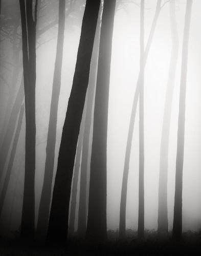 Trees in Morning Fog (c) Jan Bell